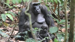 Rare Footage Shows Gorilla Mom Proudly Watching Over Her New Twins