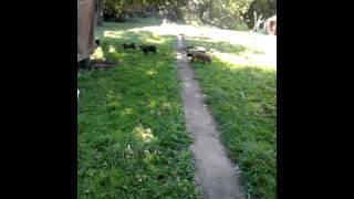 Livestock guardian dog?