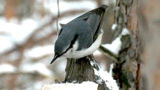 Все птицы любят сало, Дятел, Синицы, Поползень