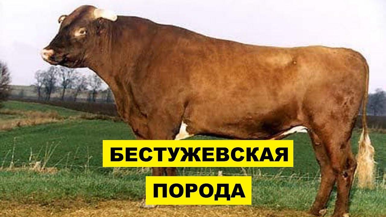 Разведение Бестужевской породы коров как бизнес идея | КРС | Бестужевская корова