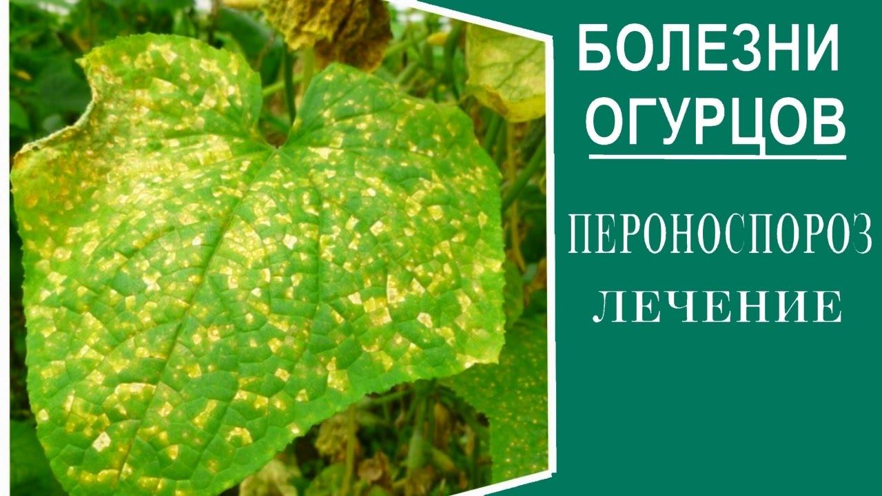 Болезни огурцов и борьба с ними в открытом грунте, в теплице