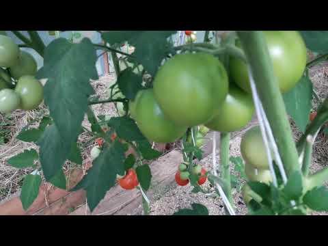 Сорта томатов для теплицы. 10августа. Сибирь.