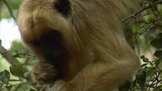 Howler Monkey and Lemur | Monkeyland Sequence