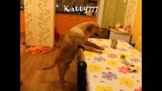 Funny labrador! The best video! Как лабрадор украл себе еду: самое смешное видео!!!(ОЧень веселое видео, как наш Лорд добывает себе пишу пока нас нет дома), 2015-08-12T19:50:44.000Z)