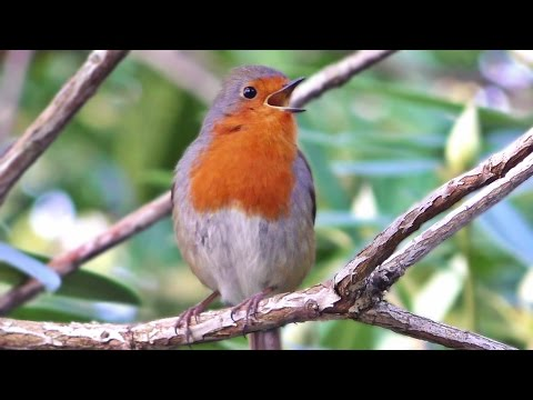 Robin Bird Singing a Beautiful Song in January