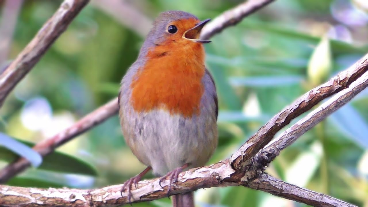 Robin Bird Singing a Beautiful Song in January - YouTube