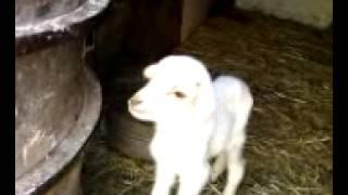 mon premier cadeau de janvier 2015, un petit agneau qui deviendra bélier