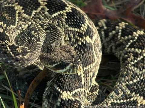 sounf of eastern diamondback rattlesnake