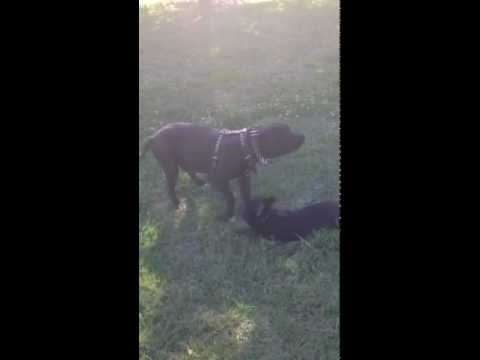 Beast mode Kennels D'Beaux (pitbull) and Mr. Magoo(frenchie)