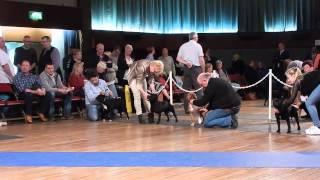 Best Dog Judging Merseyside Staffordshire Bull Terrier Club 2015