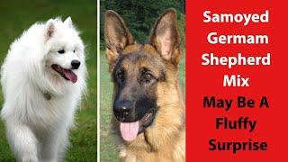 Samoyed German Shepherd Mix May Be A Fluffy Surprise