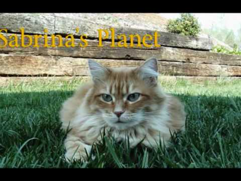 CAT VIDEOS – SABRINA'S PLANET – Everyone's Favorite Orange Tabby Maine Coon Cat