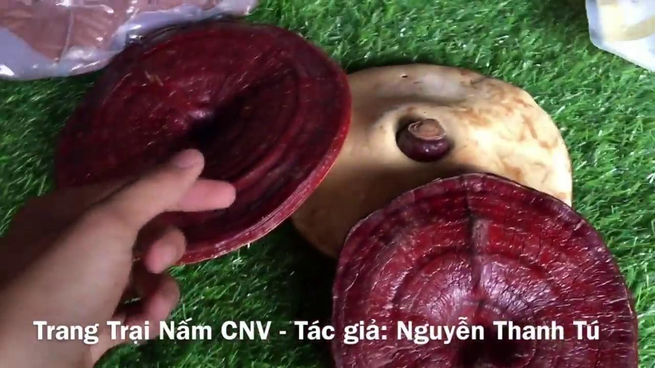 Đánh Giá Nấm Linh Chi Hàn Quốc Túi Vàng Phượng Hoàng - YouTube