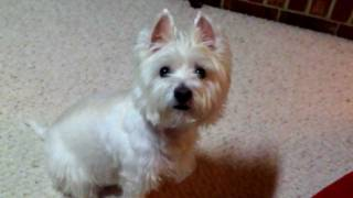 Annie The Westie Play Dead Dog Tricks