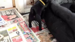 Black Labrador puppies Bess on the run