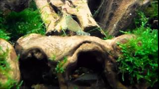 Bamboo/Mountain Shrimp fanning in new 40g setup May 2014