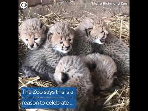 Septuplets! 7 Cheetah Cubs Born At Metro Richmond Zoo