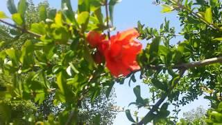 Гранат цветет.