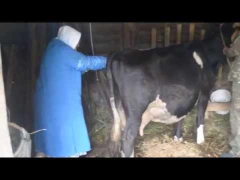 Как осеменяют коров видео