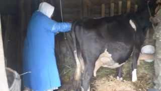 Искусственное осеменение коровы(Искусственное осеменение коровы в нашем хозяйстве. Небольшой рассказ врача о том, откуда привезено семя..., 2015-08-16T05:32:23.000Z)
