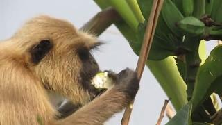 wild langur monkey eating banana