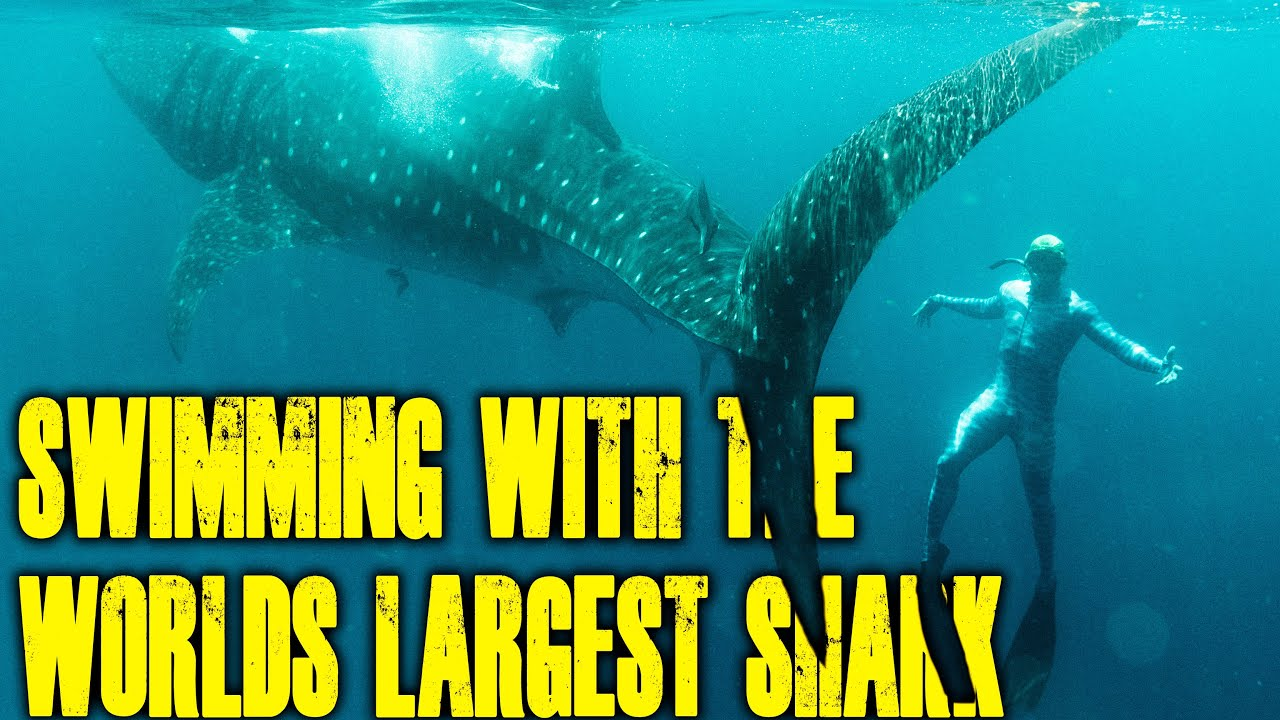 SWIMMING WITH THE WORLDS LARGEST SHARK!