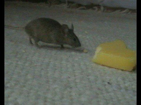Mäuse Video
