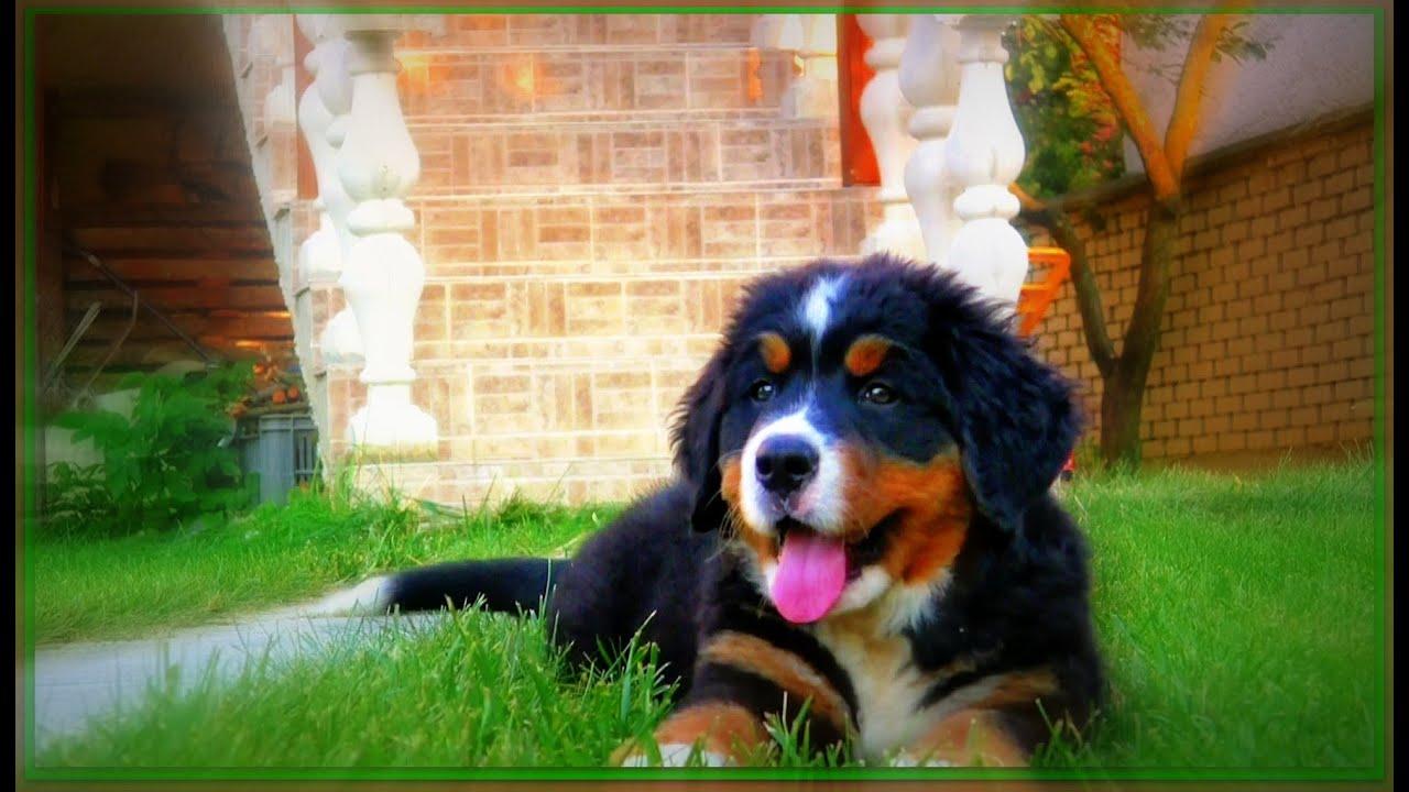 Bernský salašnícky pes - YouTube bfc792a2bcc