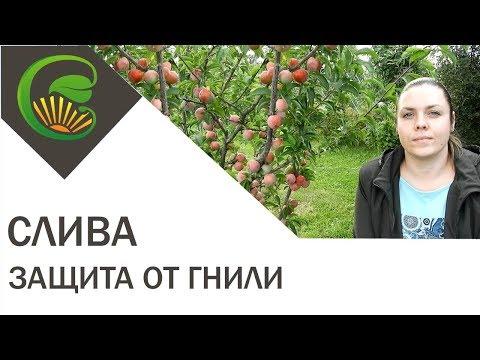 Как спасти урожай сливы   выращивание   вредител   лечение   болезни   дереве   сливы   слива   плоды   гниют   гниет