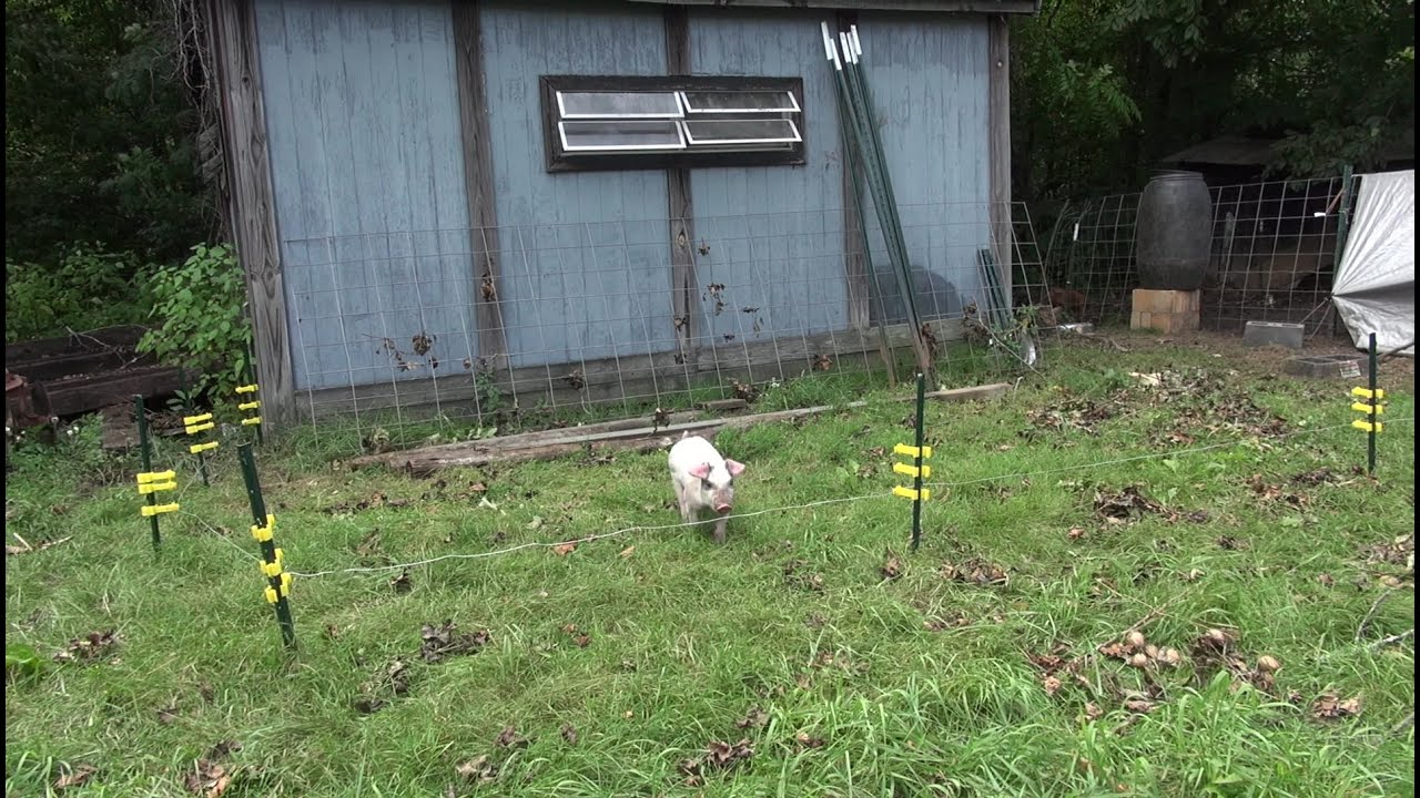 Piglets Meet Electric Fence