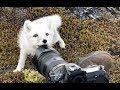 Encounter A Young Wild White Arctic Fox In Greenland mp3