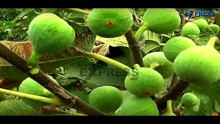 Success story of Anjura or Fig Fruit farming - Express TV