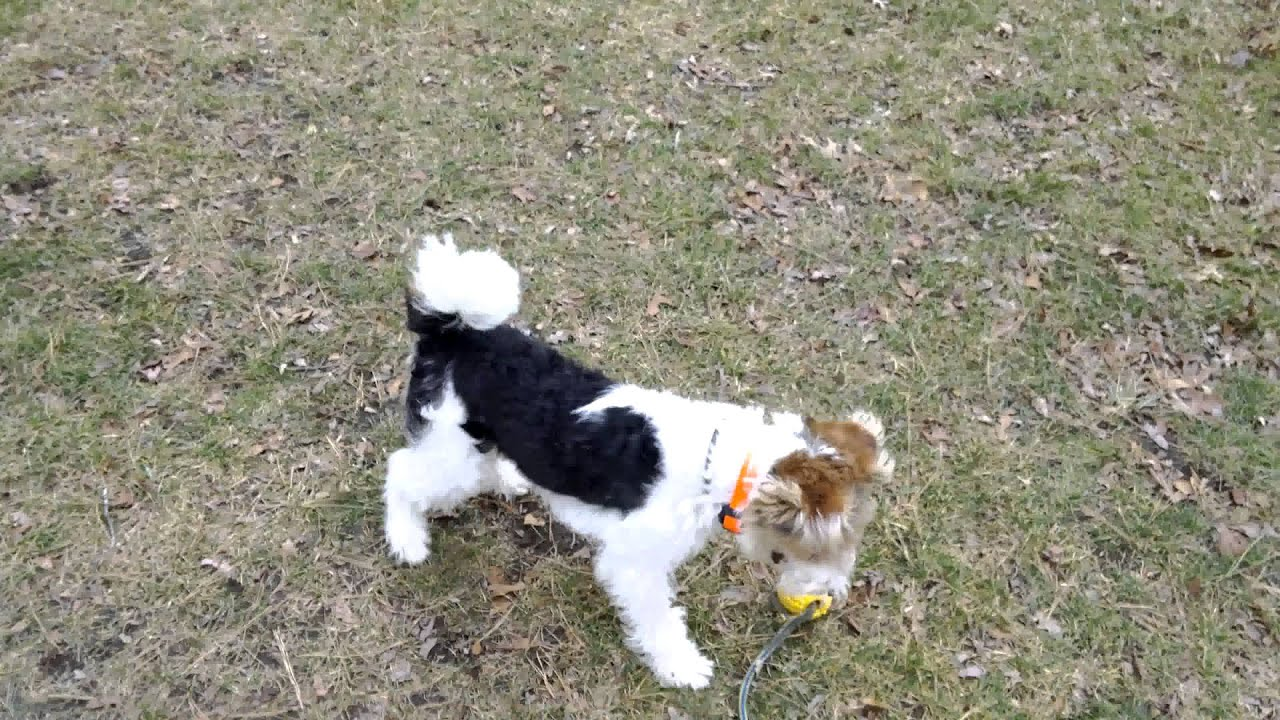 Cooper - Wire Fox Terrier (11 months) - 1st time off leash at park ...