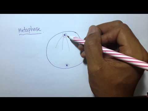 การแบ่งเซลล์แบบไมโทซิส (Metaphase) part3/4