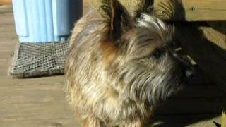 Cooper - Cairn Terrier-1.5 Years Old-brindle - Cairn Rescue Usa (crusa)