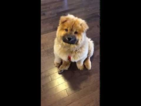 Chow Chow Puppy Has Hiccups