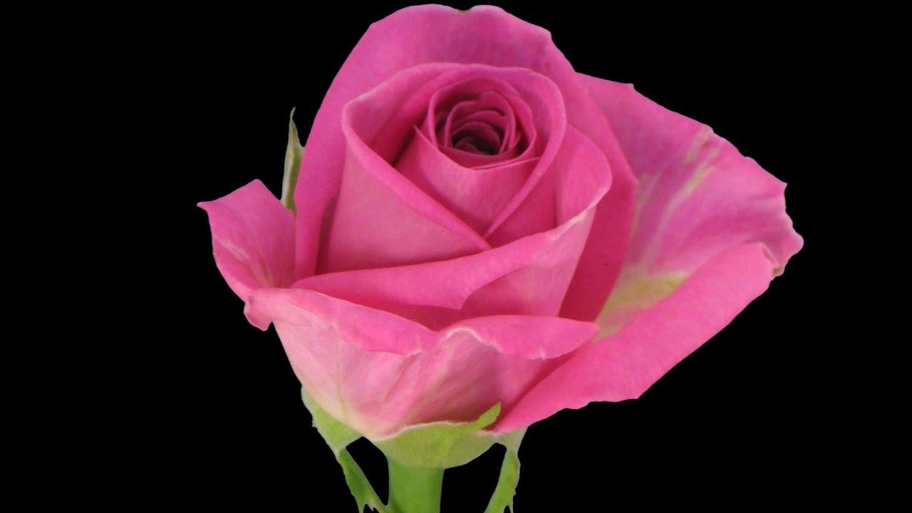 Coffee Tea Room Happy Rose Day Valentines Day Status