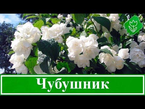 💮 Кустарник чубушник – посадка и уход: обрезка и пересадка чубушника, виды и сорта