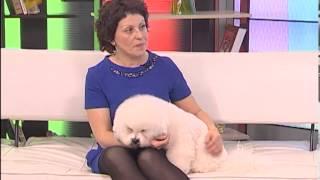 видео Собака Бишон фризе: описание породы, фото, цена щенков, отзывы