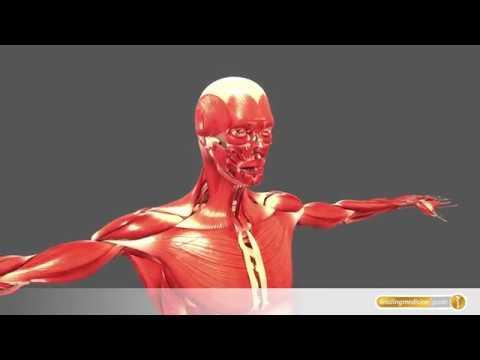 Muskelsystem des Menschen - YouTube