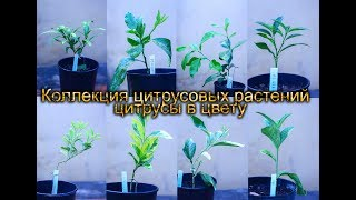 коллекция цитрусовых растений  цитрусы в цвету