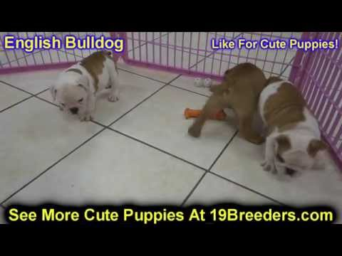 English Bulldog, Puppies, Dogs, For Sale, In Tampa, Florida, FL, 19Breeders, Fort Lauderdale