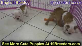English Bulldog, Puppies, For, Sale, In, Tampa, Florida,fl,st Petersburg,clearwater,
