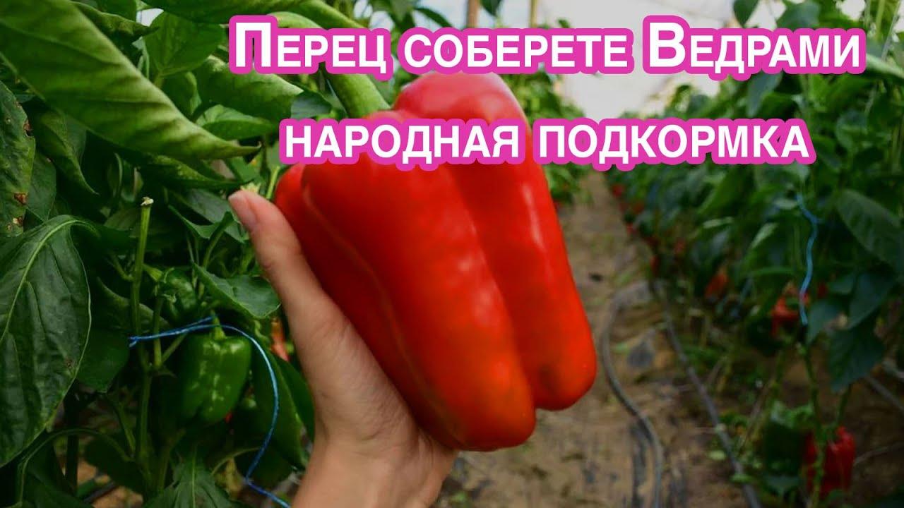 Увеличиваем урожай перца в 3 раза. Необычная подкормка народным средством.