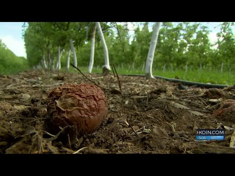 Fruit growers struggle to find workers in time for harvest