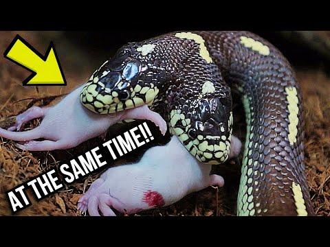 BOTH HEADS EAT AT THE SAME TIME! MY TWO HEADED SNAKE! | BRIAN BARCZYK
