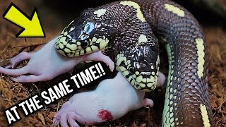 BOTH HEADS EAT AT THE SAME TIME! MY TWO HEADED SNAKE! | BRIAN BARCZYK thumbnail