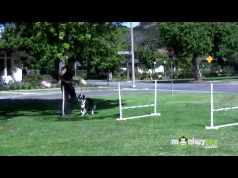 Dog Agility - Training your Dog Basic Jumping Skills