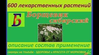 борщевик сибирский 600 лекарственных растений