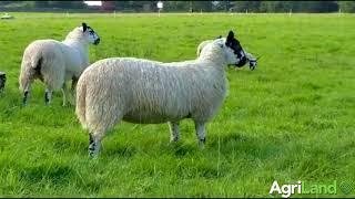 Mule ewe lambs